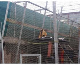 Iš Lietuvos atkelivausi šimpanzė Regina šiuo metu yra laikoma AAP centro šimpanzių komplekse