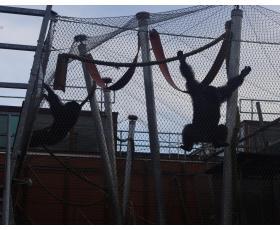 Šimpamzės yra stiprūs ir sumanūs primatai - aptvarai turi būti tvirti ir saugūs